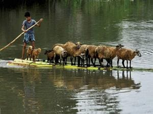 A youth taking his sheep to a safer place in a Banana raft after their houses were submerged in flood water at Bura Bure in Morigaon district of Assam. (PTI Photo)