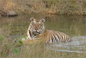 Days after tigress killed at Bandhavgarh, NTCA seeks report