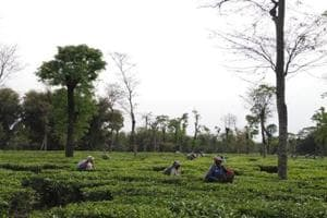 After jute mill, a tea garden closes in Bengal citing demonetisation