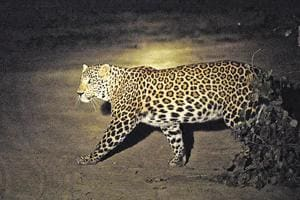 Leopard caught in Delhi may be moved to Shivalik ranges, experts...