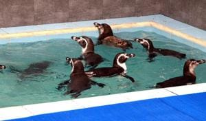 The Brihanmumbai Municipal Corporation has extended the deadline by another 15 days — from December 15 to December 30 — to build the enclosure for the penguins.