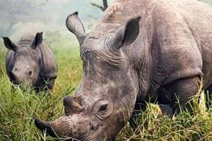 Poachers armed with AK-47 kill another rhino in Kaziranga; toll rises to 17 this year