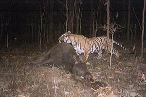 Palamu reserve seeks donations to save tigers