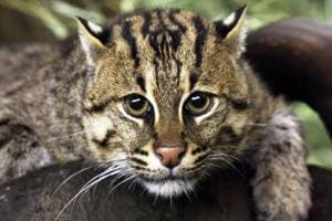 The population of fishing cats, the state animal of West Bengal, is set to decline by 30% in the Ganges-Brahmaputra delta over the next two  decades.