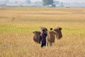 An Indian farmer carries rice seedlings from a paddy field at Nimati village, some 300 kms from Guwahati.