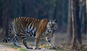MP recorded one-third tiger deaths last year