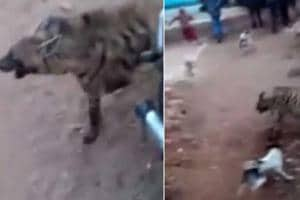 A hyena entered  a village in Madhya Pradesh's Panna and created...