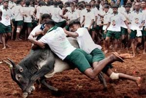 Jallikattu was banned by the Supreme Court in May, 2014.
