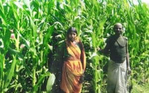 Govt push for maize cultivation in tribal areas