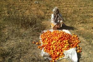 At 50p a kg, farmers in Jharkhand prefer dumping tomatoes to selling