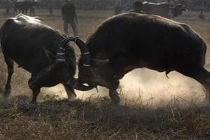 Locking horns: Traditional buffalo fights mark Magh Bihu in Assam