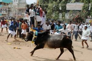 30 held in Tamil Nadu after Jallikattu supporters continue to defy SC...