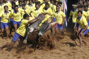 Not just a cock and bull story: The pain of Jallikattu 'heroes' is...