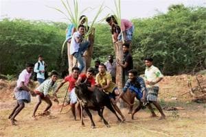 Jallikattu matters: It's a symbol of self-assertion, people power in...