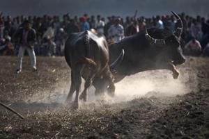 Jallikattu effect: Chorus for lifting ban on buffalo race Kambala in...