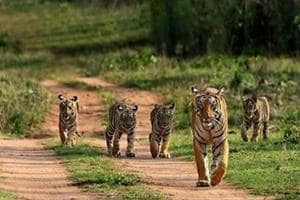 In search of orphaned tiger cubs, over 150 forest personnel, 8 elephants comb jungles in MP