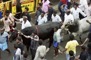Madurai readies for traditional bull-taming sport Jallikattu