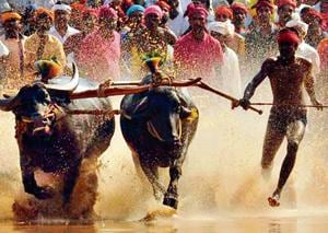 Jallikattu allowed, other states ramp up pressure for their outlawed...