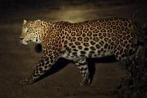 A young leopard was seen crossing a street in Mulund (West) in a CCTVfootage on Sunday.
