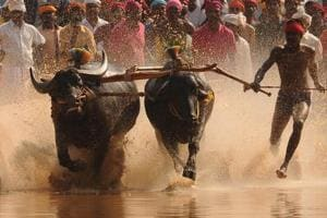 Ordinance on Kambala can be brought if necessary, says Siddaramaiah