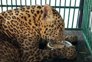 National park's oldest captive leopard is critically ill