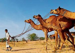A boy arrives with his camels at the Nagaur cattle fair in Rajasthan, where animals like camels, cows, horses and bulls are brought to be sold or traded.