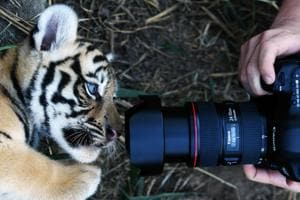 See pictures of adorable Bengal tiger cubs born at El Salvador shelter