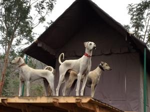 Chippiparais, labelled the greyhounds of south India, are native to southern Tamil Nadu.