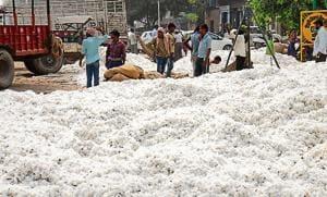 The cotton grain market in Bathinda.