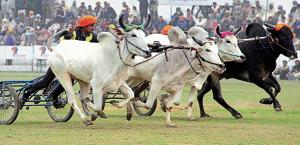 Bullock cart race was last organised in the 78th edition of the Kila Raipur sports festival in 2014.