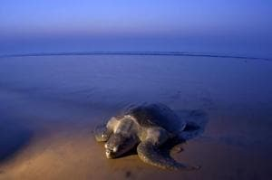Olive Ridley turtles make annual trip to Rushikulya Beach to lay eggs