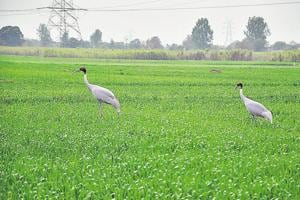 Two agencies to help forest department conserve sarus crane habitat in...