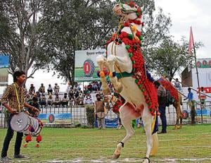 A horse dancing to the beats of dhol.