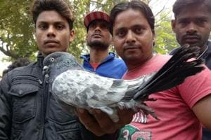 Pigeon market a preferred destination even on election day