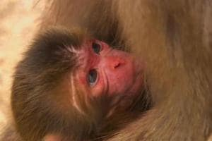 Japan zoo culls 57 monkeys after finding they carried 'invasive' genes