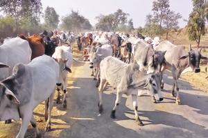 Bundelkhand: On the horns of a bovine intervention