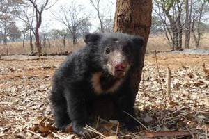 In MP: Poachers' trap electrocutes endangered sloth bear, NGO rescues...