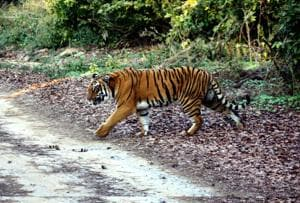 No let up in tiger deaths: Three die in U'khand, 14 in other states