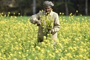 In Rajasthan, mustard is mostly grown in areas like Sriganganagar, Alwar, Bharatpur and Kota.