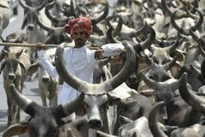 A man seen with his cattle at NH-1 in Haryana, on June 6, 2016.