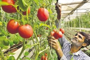 Gurgaon adopts soil-less farming to grow chemical-free vegetables