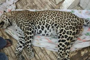 Leopard killed in Vasai on Fri, 10th to be run over since 2004