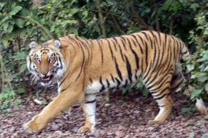 Corbett tiger reserve director removed after his shoot-at-sight order