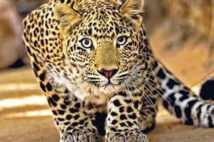 Pug marks in Bharatpur bird park trigger leopard alert