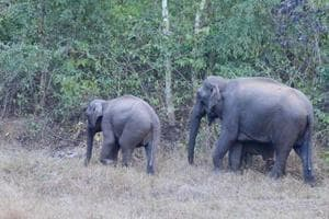 Jharkhand to use 'dung-decay' method for jumbo count