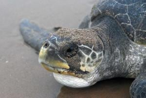 Olive Ridley turtles in Odisha
