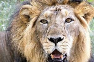 Asiatic lions relocation plan from Gujarat to Madhya Pradesh sanctuary gets fillip
