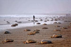 In pics | Awed by nature:Olive ridley turtles return to Odisha's...