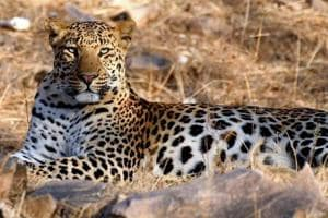 The big cat's population in Rajasthan has declined over the years.