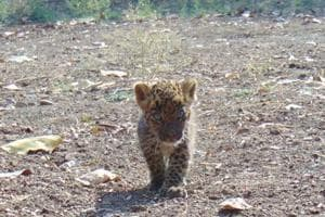 Another leopard cub abandoned by mother in Nashik